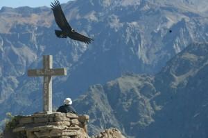 Condor flying over the Colca Canyon Peru