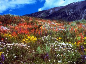 Wildflowers in the Rocky Mountains National Park