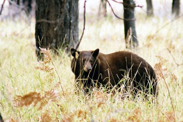 Yosemite Black Bear Campsite in bear country