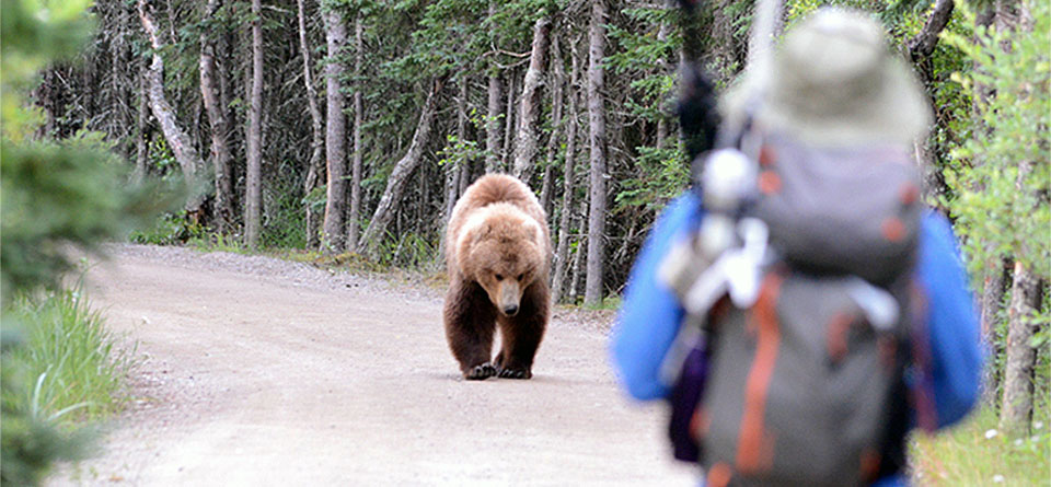 bear approaching hiker